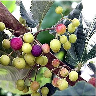 Best grewia asiatica plant Reviews