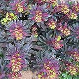 Euphorbia amygdaloides 'Purpurea' 10 Seeds, Purple Wood Spurge- Perennial