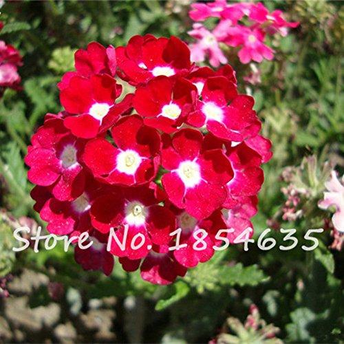 Multi Color Verveine semences vivaces herbes semences de fleurs hybrida Verveine Balcon Oeufs d'ornement de jardin de papillon 100 PCS