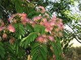 New Mimosa Silk Tree, Albizia julibrissin, 30 Seeds (Fast, Hardy, Showy, Fragrant)