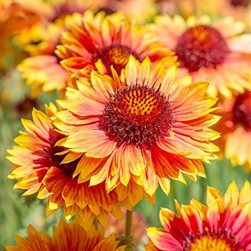 gemeinsamen blanketflower Samen - Kokardenblumen Berberitze