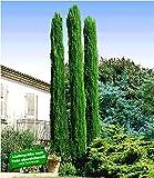 BALDUR Garten Echte Toskana 'Säulen-Zypressen', 1 Pflanze, Cupressus sempervirens pyramidalis Mittelmeer-Zypresse winterhart