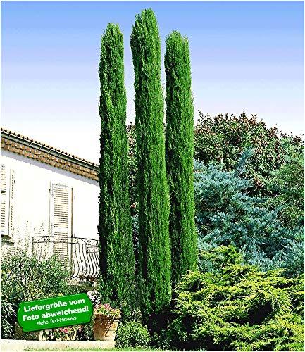 BALDUR Garten Echte Toskana \'Säulen-Zypressen\', 1 Pflanze, Cupressus sempervirens pyramidalis Mittelmeer-Zypresse winterhart