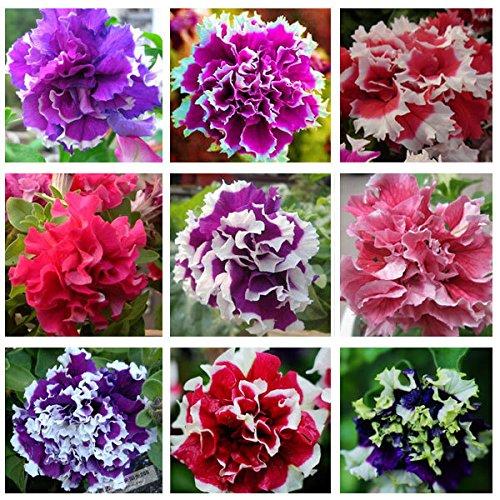 200pcs/sac Hanging Multicolor Petunia Graines Balcon Trailing Pétunia fleur en pot Bonsai plantes pour la décoration de jardin Facile à cultiver 1