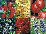 3 x Beerenobst Angebot: Je 1x Stachelbeere, Himbeere, Johannisbeere, ( Ribes,Rubus)