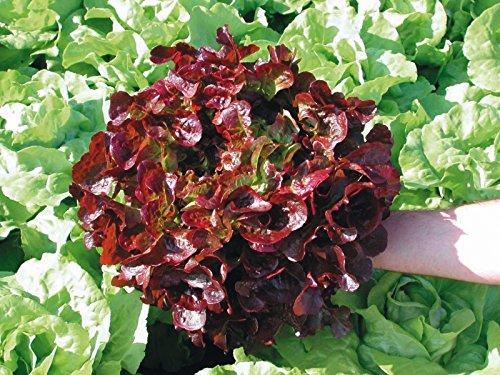 Lot de 50 Graines Radis - Rond Rose a Bout Blanc - Taille : 10 à 40 cm