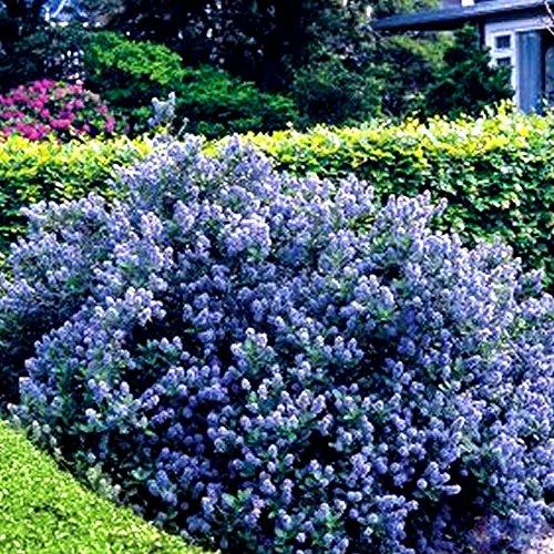 1 X CEANOTHUS 'Yankee Point' California Lilac Evergreen Shrub Hardy Plant in Pot