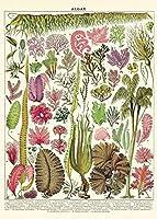 カヴァリーニラッピングペーパー|藻類チャート