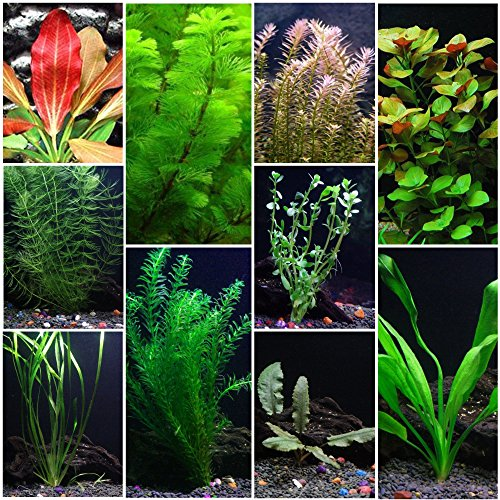 10 Species Live Aquarium Plants Package - Anacharis, Swords, Vallisneria and More!