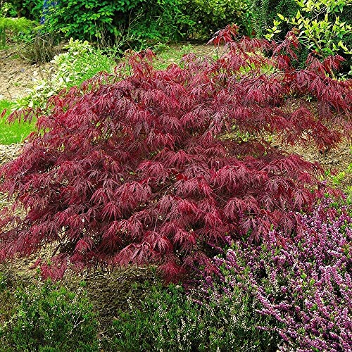 Acer palmatum VAR. dissectum 'Rubrum' Cut-leaved Japanese Maple, Acer 'Dissectum' Hardy Tree Flowering Garden Plants Easy to Grow Your Own 2 x 9cm Pots by Thompson and Morgan