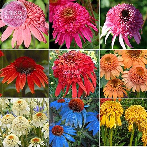 BELLFARM Echinacea Misch9 Farben Big Blooms Stauden Blumensamen, 200 Samen, professionelle Pack, Erbstück Hybrid Sonnenhut