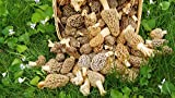 Large Kit Morel Mushroom Spores Sawdust Seed - 25 Gallon Kit