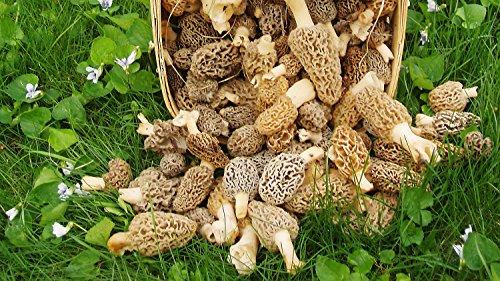 Large Mushroom Growing Kit for Morrel Spores