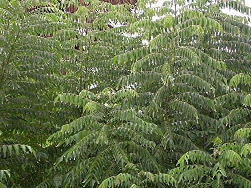 Currybaum -Murraya koenigii- 10 Samen