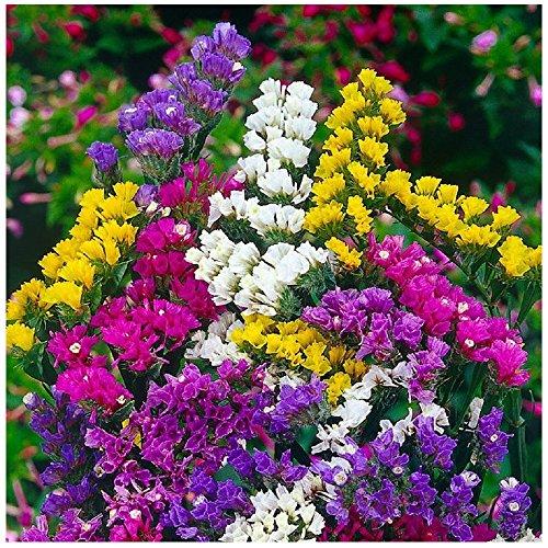 Lot de 50 graines Statice à feuilles sinueuses - Pacific Mix - fleurs annuelles