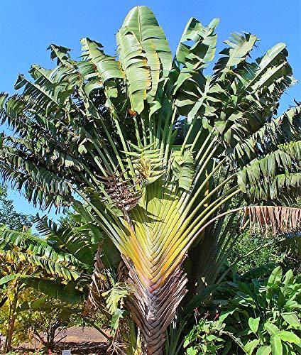 Baum der Reisenden Ravenala madagascariensis Pflanze 5-10cm Traveller's Tree