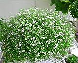Charm4you Planta Maceta Semillas,Eustoma grandiflorum Semillas de Flores vivas fáciles de Cultivar-Blanco 100 Piezas,Flores Semillas Planta Bonsai