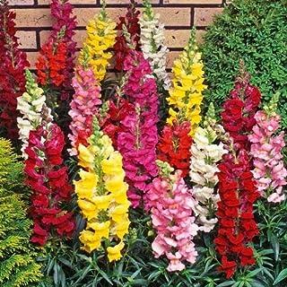 Semillas de Boca de Dragón 200 Semillas de Antirrhinum Majus Flores de Colores