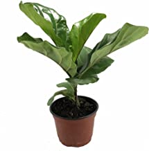 Hirt's Fiddleleaf Fig Tree - Ficus - Great Indoor Tree - Easy - 6