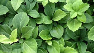 Pachysandra Terminalis | Shade Loving Ground Covers | Evergreen Garden Plants | 25 Bare Root Plants