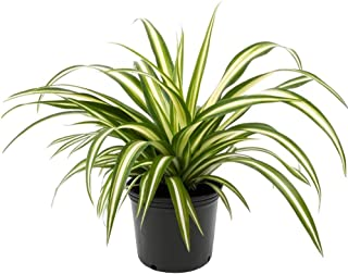 AMERICAN PLANT EXCHANGE Spider Plant Easy Care Live, 6
