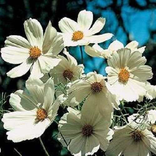 50+ COSMOS « Purity » BLANC » FLEURS DE GRAINS/LONG ANNUEL DURABLES