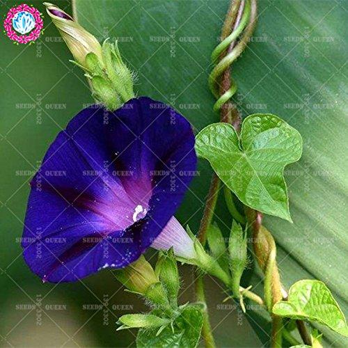 11.11 grande promotion! 50 pcs/lot rares graines colorées de volubilis graines de Bonsaï chinois jardin et la maison plante herbe organique 2