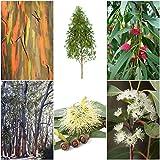 Mix di eucalipti - 6 tipi, 30 o 50 semi ciascuno (adatto per bonsai) -