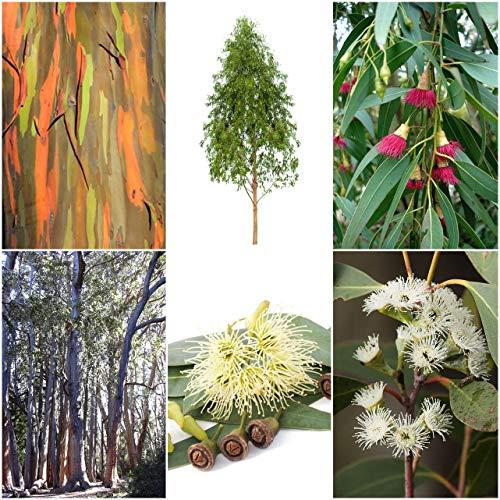 Eucalyptus Mix - 6 Arten je 30 bzw. 50 Samen (Bonsai geeignet)- sortenrein verpackt !