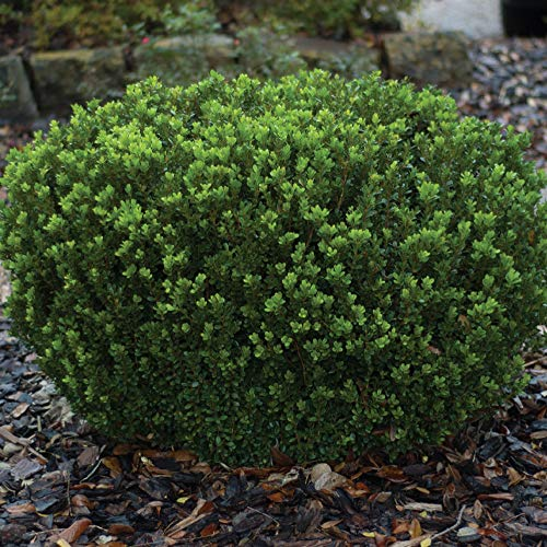 Southern Living Plant Collection SL-692 Baby Gem Boxwood, 2 gal, Green