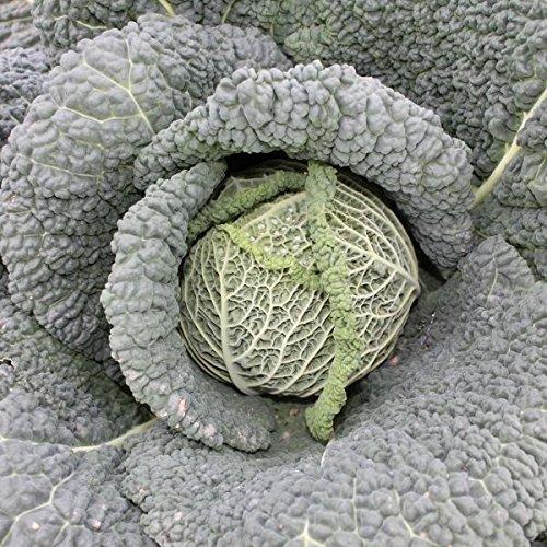 Portal Cool Suffolk Herbes - Chou Bio Savoy Cantasa - 30 graines
