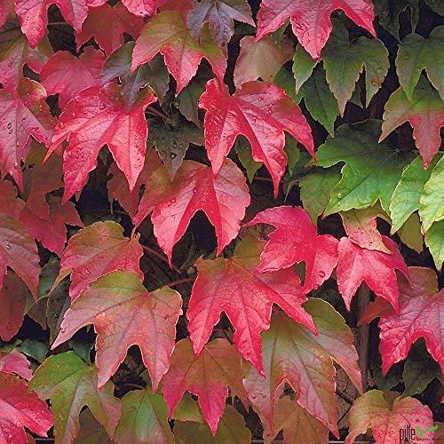 Wilder Wein Mauerwein Parthenocissus quinquefolia Kletterpflanze winterhart - 3 Sorten im Topf zur Auswahl (Parthenocissus tric. Veitchii)