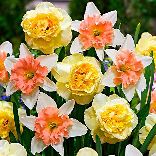 7x Narcissus'Design'   Narciso Bulbi   Fiori giallo-rosa   Bulbi a fioritura precoce   Piante a fioritura perenne   Ø 12-14cm