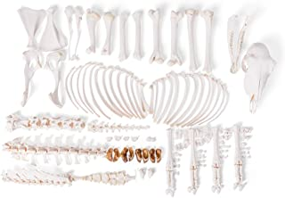 3B Scientific GmbH T300361fU Sheep Skeleton, f, Disarticulated