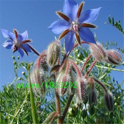 Big promotion Livraison gratuite 1 pack 100pcs graines Borago Officinalis Seed bourrache Herb Garden Vegetable Simple Sow Flower Blue Star