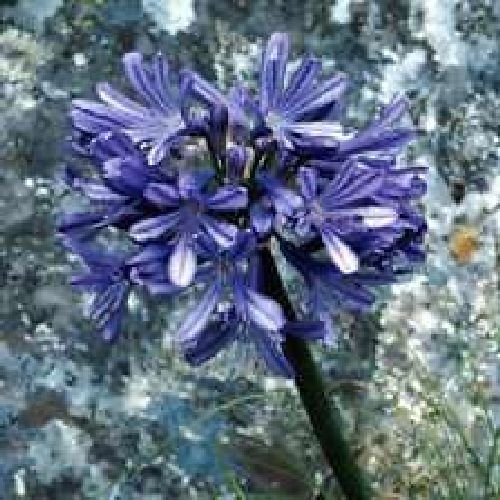 Agapanthus africanus, Amore Fiore, 10 semi freschi BLU