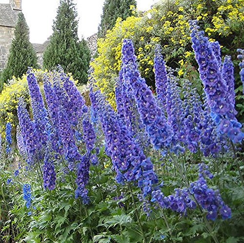 30 Seeds of Perennial Delphinium elatum - Guardian Dark Blue. Regal...