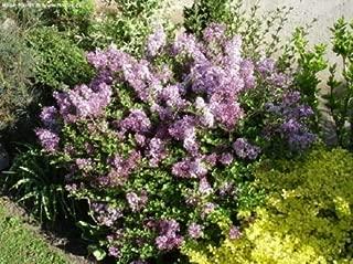 lilac syringa palibin