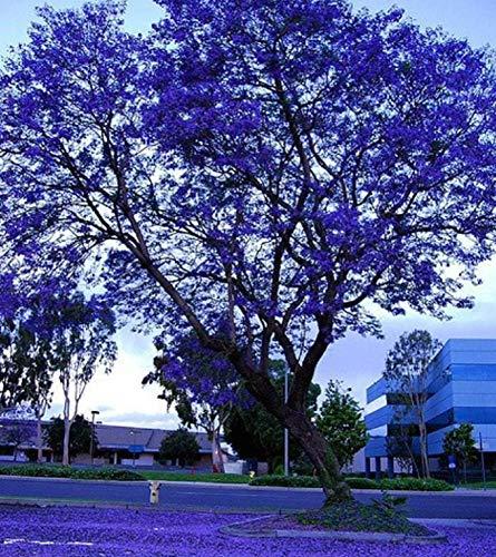 Rarität Exotische Palisanderholzbaum Baumsamen 100Pcs, Blue Jacaranda Mimosifolia Blau Lila Blüten Palisanderbaum Bienenfreundlich Strauch Laubbaum Gartenbonsai Pflanzen