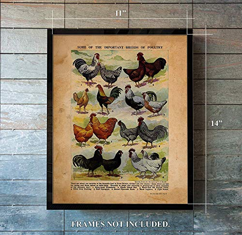 Breeds of Poultry Vintage Farm Animal Poster Print - Unique Wall Art of a Classic Image - Perfect Gift for Everyone who Keeps Chickens