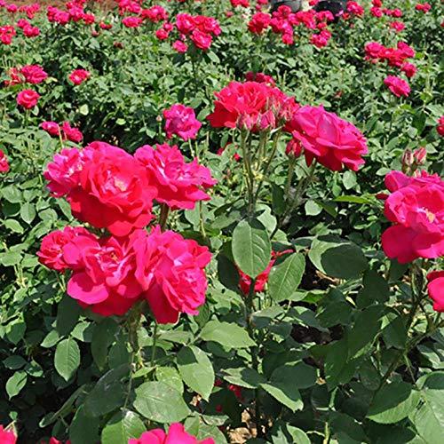 XINDUO Steingarten & Staudenbeet,Garten Zier Rose Pflanzensamen-0,5 kg,mehrjährig winterhart Samen
