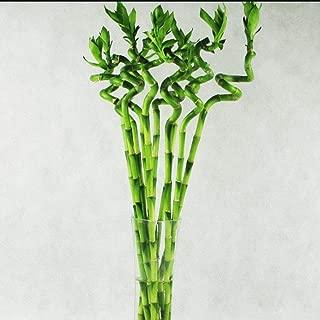 50pcs Raras Semillas de Lucky bamboo, Bambú de la suerte, Dracaena sanderiana Planta Interior