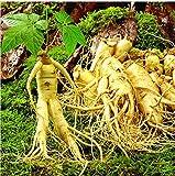 100pcsVegetables y frutales Semillas de ginseng americano a base de plantas de semilla blanca Bonsai...