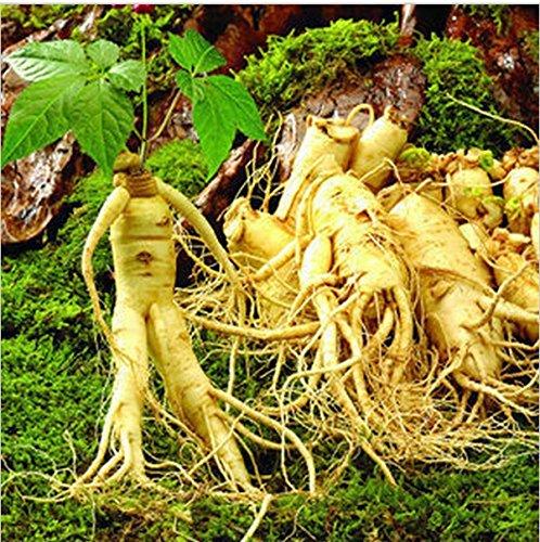 100pcsVegetables y frutales Semillas de ginseng americano a base de plantas de semilla blanca Bonsai plantas Semillas para el hogar y el jardín
