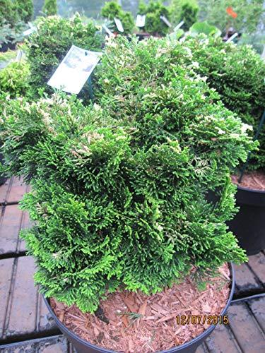 Chamaecyparis obtusa Tonia - Muschelzypresse Tonia