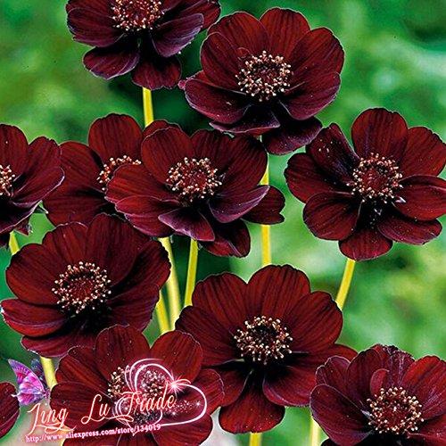 meilleures VENTES. 50 graines Cosmos Chocolat – Blooms tout l'été Long et est riche Parfum comme Chocolat, DIY Home Garden Fleur