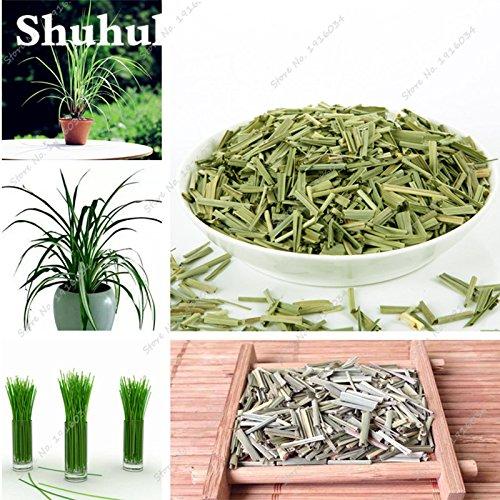 Citronnelle Graines herbes plantes Citronnelle graines jardin Diy maison Bonsai Décoration, USED frais ou secs 120 Pcs