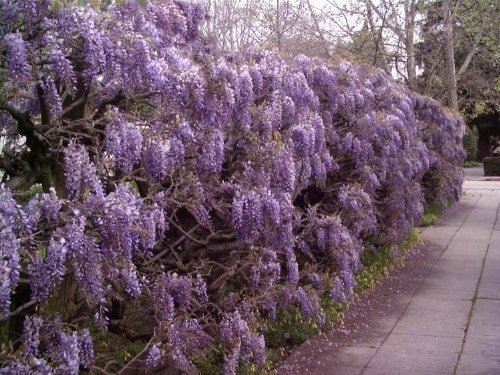 Tree Seeds Online - Wisteria Sinensis (Azul) China 2 Grandes Semillas - 2 Paquetes