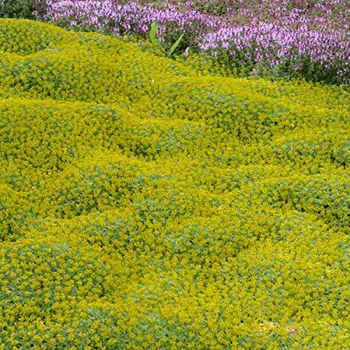 Soteer Garten - Argentinien Andenpolster Samen begehbar Grassamen Bodendecker Staudenbeete Beetpflanze Samen winterhart mehrjährig für Mauern, Steingarten und Rasenersatz