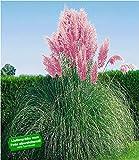 BALDUR Garten Rosa Pampasgras, 1 Pflanze Cortaderia Ziergras